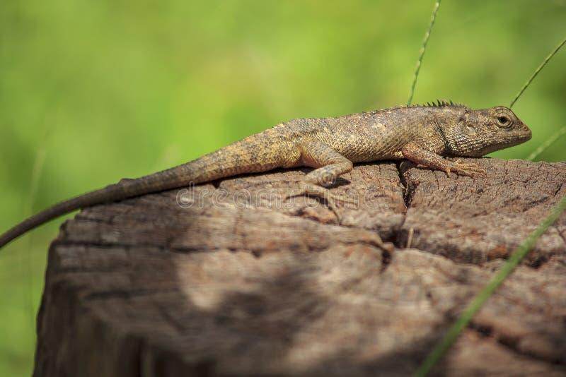 Camaleón en la madera seca fotografía de archivo libre de regalías