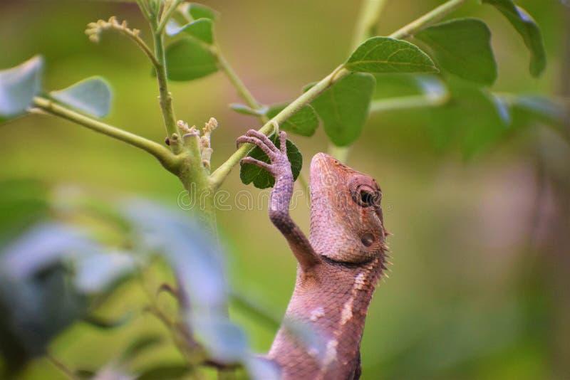Camaleón en naturaleza pacífica foto de archivo libre de regalías
