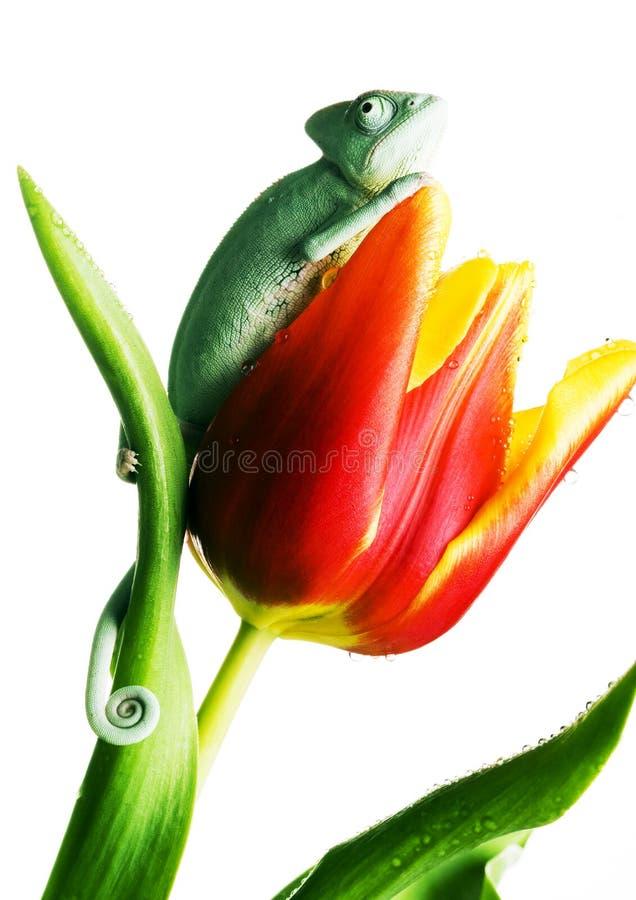 Camaleón en tulipán imágenes de archivo libres de regalías