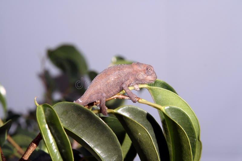 Camaleón enano del cabo fotografía de archivo