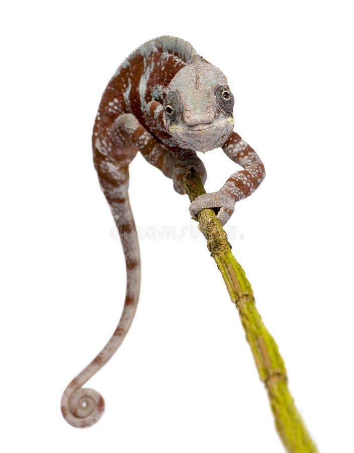 Camaleón Furcifer Pardalis - Masoala (4 años) fotos de archivo