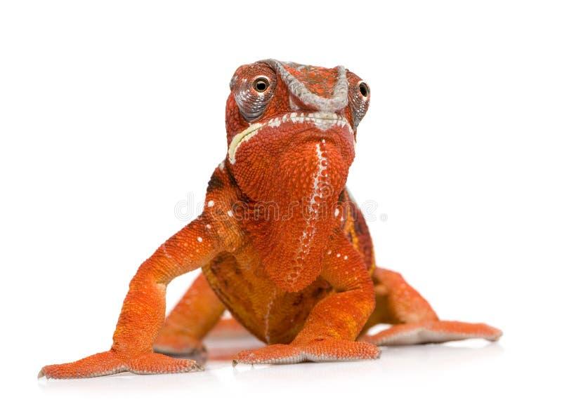 Camaleón Furcifer Pardalis - Sambava (2 años) imagenes de archivo