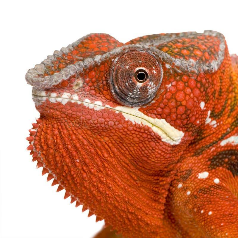Camaleón Furcifer Pardalis - Sambava (2 años) fotografía de archivo