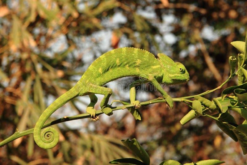 Camaleón indio foto de archivo libre de regalías
