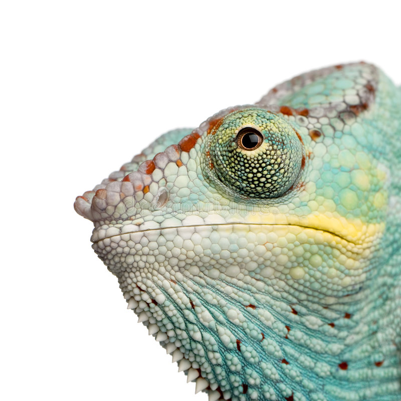 Camaleón joven Furcifer Pardalis - Nosy sea fotos de archivo