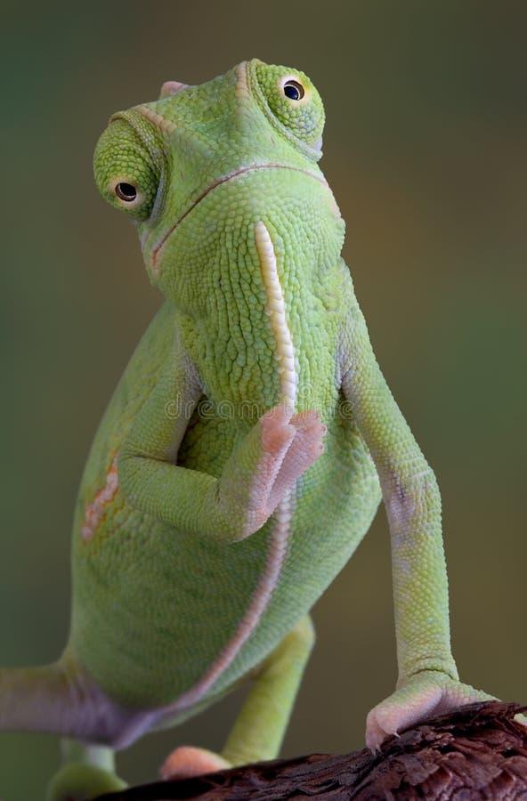 Camaleón que agita foto de archivo libre de regalías