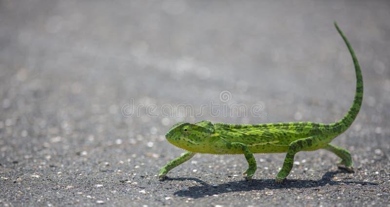 Camaleón que cruza el alquitrán caliente foto de archivo