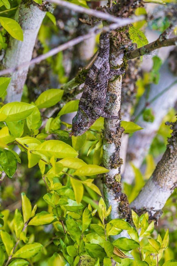 Camaleón que oculta en una rama imagen de archivo libre de regalías