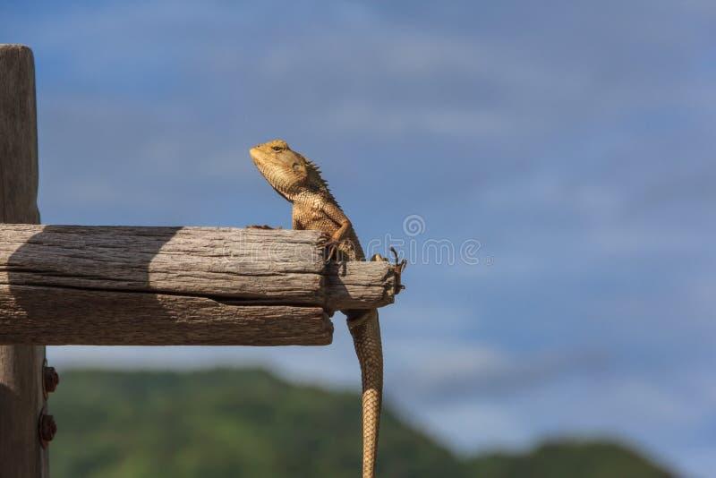 Camaleón tailandés foto de archivo