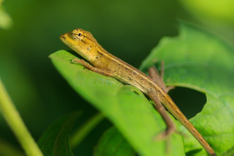 Camaleón tailandés imagenes de archivo