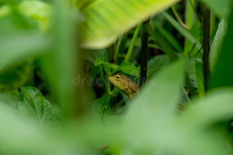 Camaleón tailandés fotografía de archivo