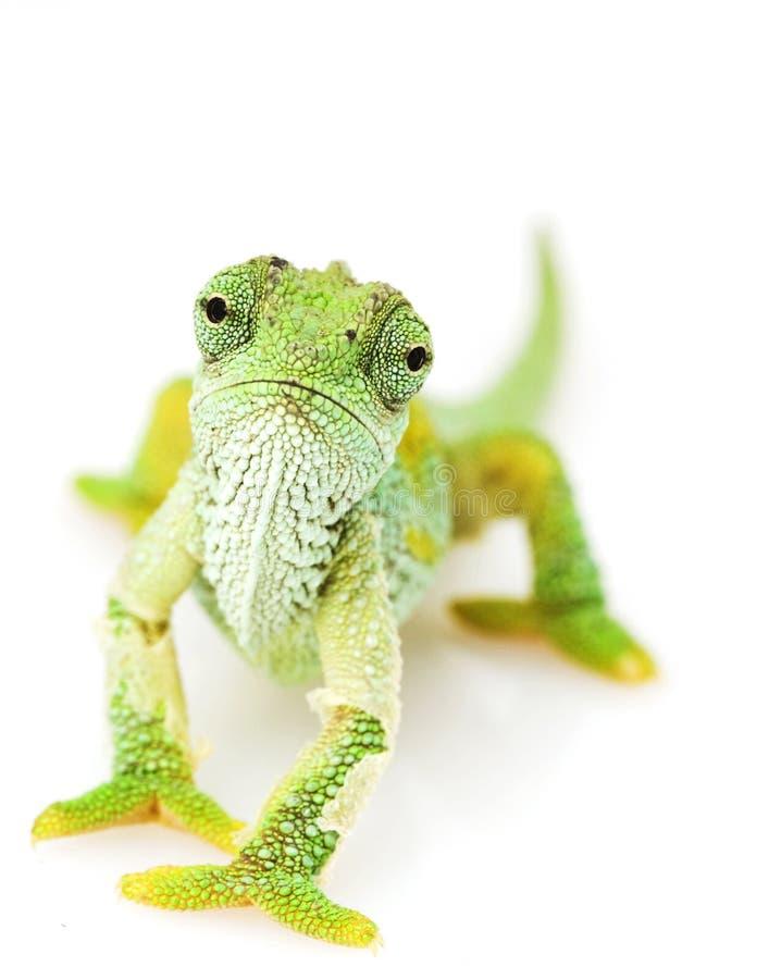 Camaleón verde imagen de archivo libre de regalías