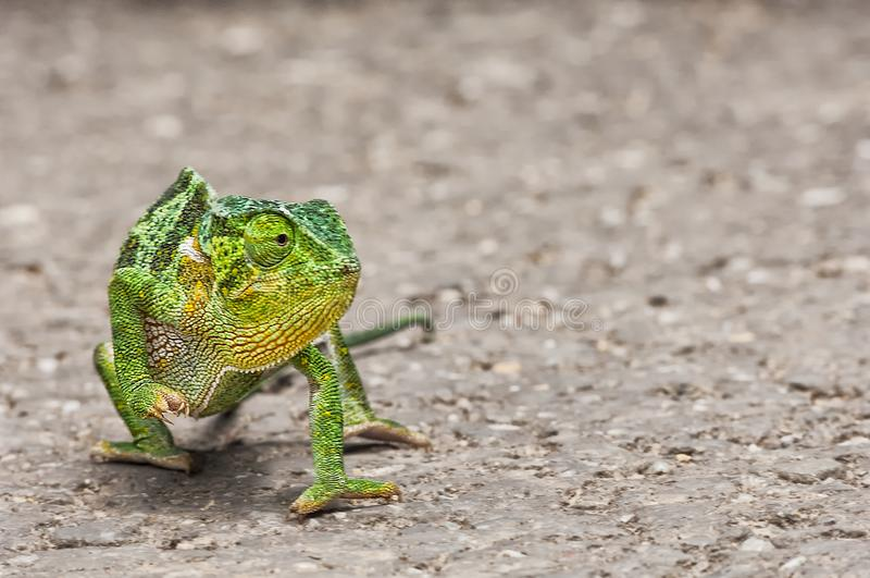 Camaleón verde a caminar, primer fotografía de archivo libre de regalías