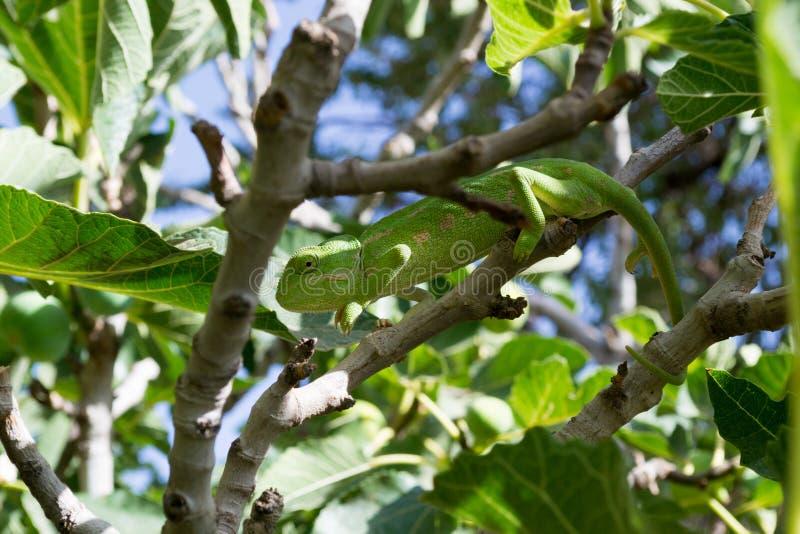 Camaleón verde sobre una higuera [1] imagenes de archivo