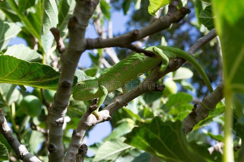 Camaleón verde sobre una higuera [2] fotografía de archivo