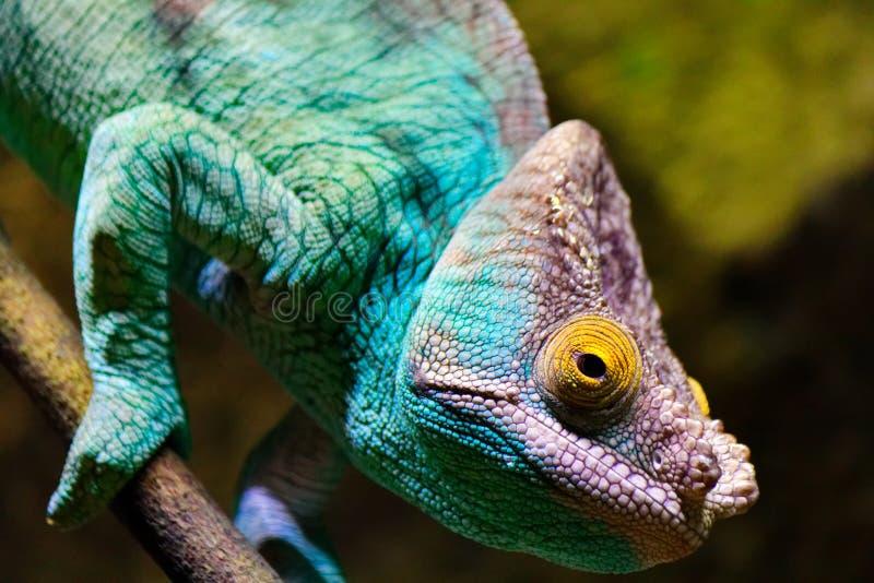 Camaleón, visión estereoscópica, azules turquesa y púrpura imágenes de archivo libres de regalías