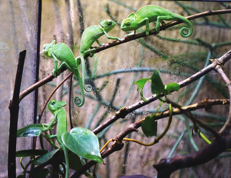 Camaleões verdes pequenos fotos de stock