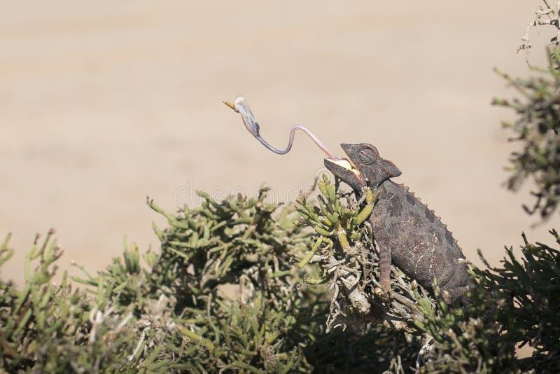 Camale?o na ?rvore no parque nacional de Dorob nafta Deserto adaptado Comer com língua fotografia de stock