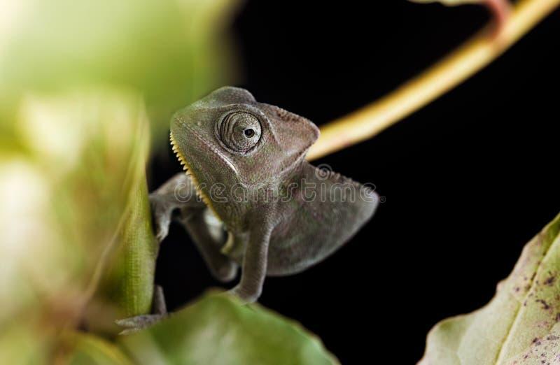 Download Camaleones velados foto de archivo. Imagen de reptil - 42442342