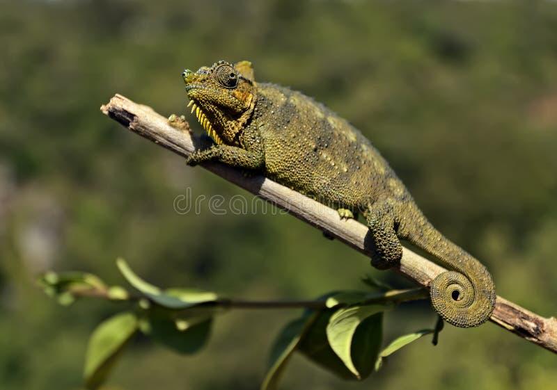 Camaleonte africano fotografie stock