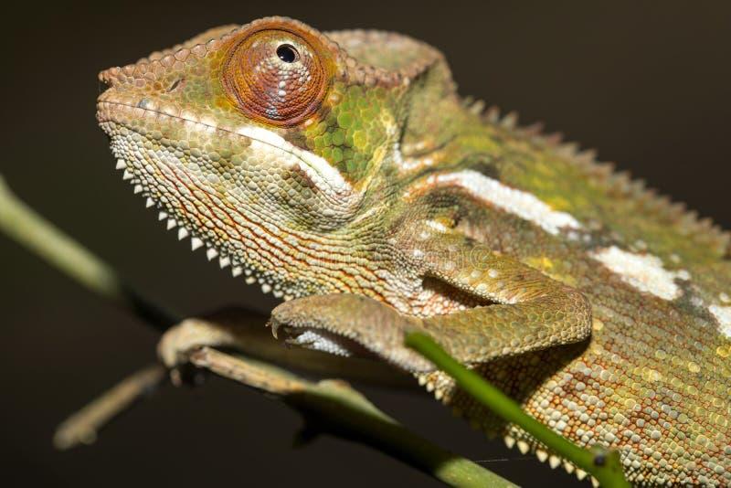 Camaleonte della pantera, Furcifer Pardalis, le foglie dell'albero, Madagascar fotografia stock libera da diritti