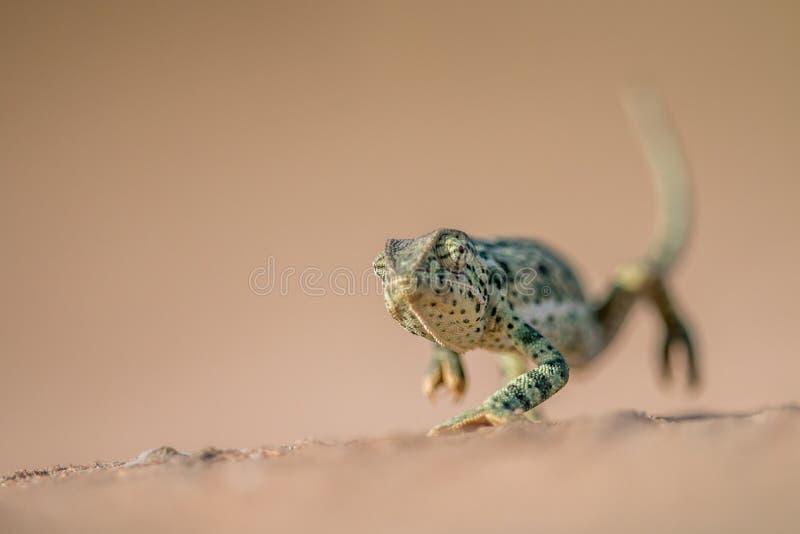 camaleonte Falda-con il collo che cammina nella sabbia fotografia stock
