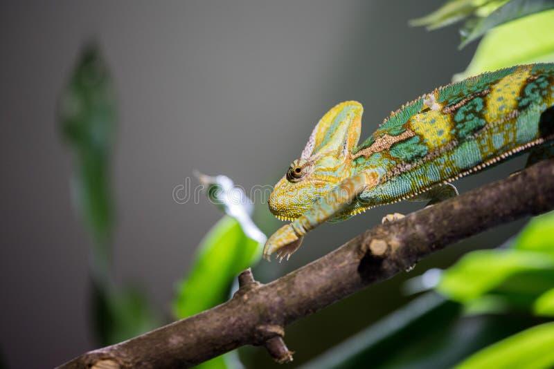 Camaleonte nello zoo: Immagine del primo piano di un camaleonte che scala su un ramo di albero fotografia stock libera da diritti