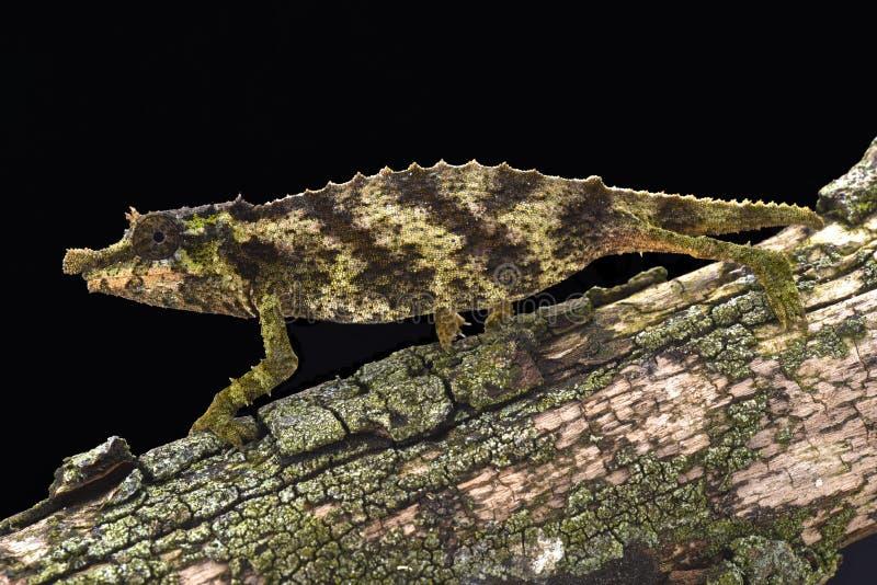 Camaleonte pigmeo coperto di spine (acuminatus di Rhampholeon) immagini stock