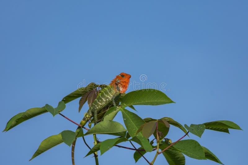 Camaleonte su un ramo di albero fotografia stock libera da diritti