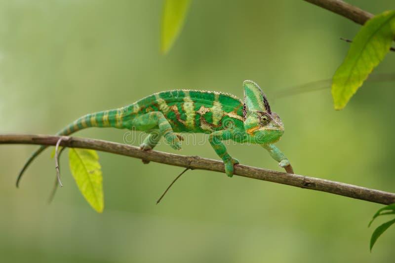 Camaleonte variopinto che cammina sul ramo di albero con fondo verde Lucertola del camaleonte dell'Yemen fotografia stock