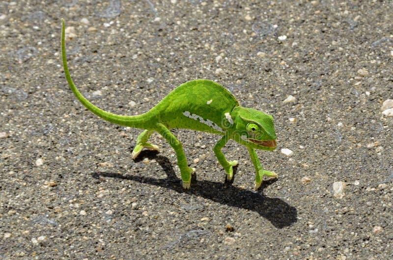 Camaleonte verde immagini stock