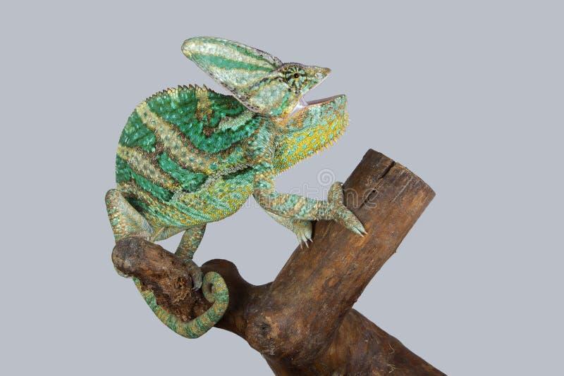 Camaleonte verde fotografie stock