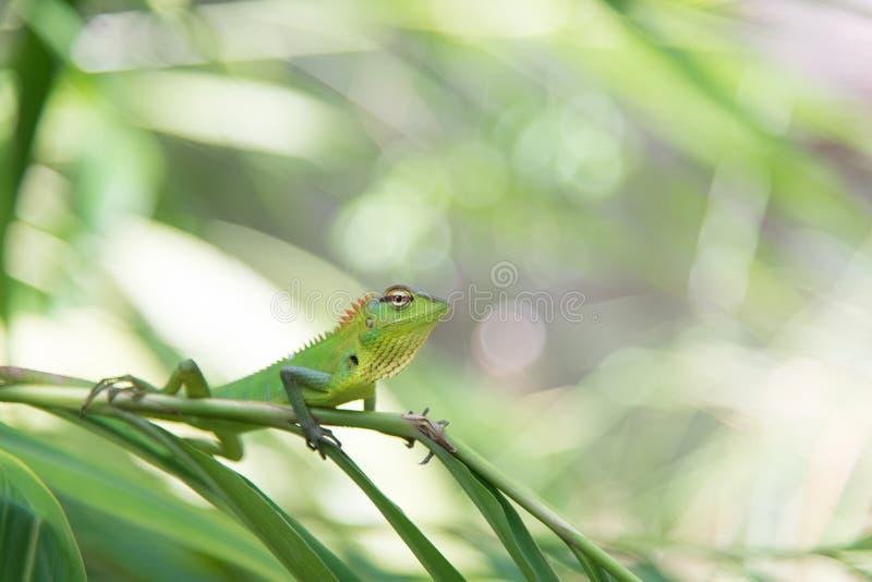 Camaleonte verde che si siede su un ramo di albero fotografia stock libera da diritti