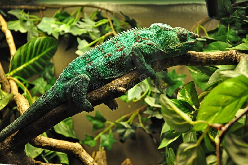 Camaleonte verde che si trova su un ramo di albero immagini stock libere da diritti