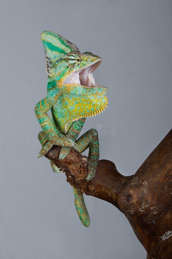 Camaleonte verde con la bocca aperta fotografia stock libera da diritti