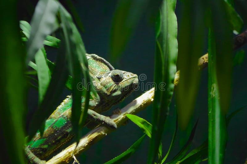 Camaleonte verde su un ramo di albero fotografie stock libere da diritti