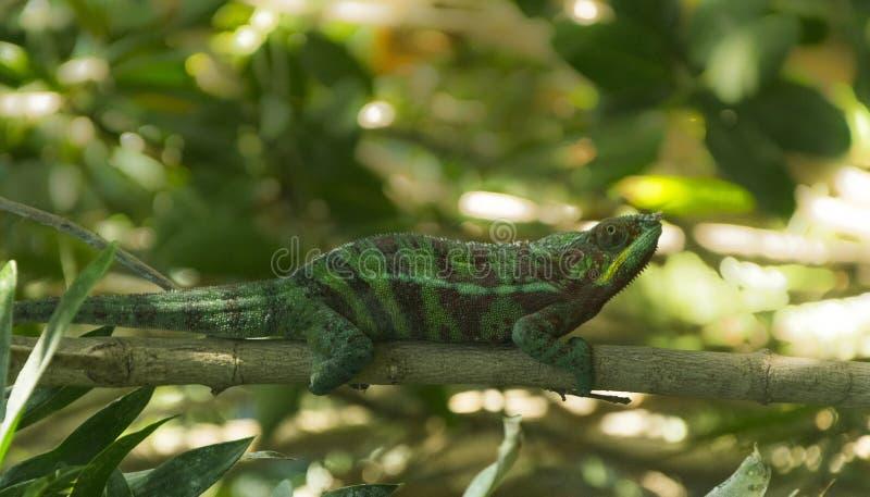 Camaleonte verde sul ramo dell'albero nello zoo di Parigi immagine stock libera da diritti