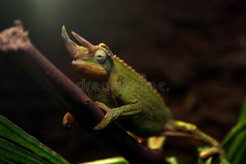 Camaleonte verde sul ramo di albero fotografia stock