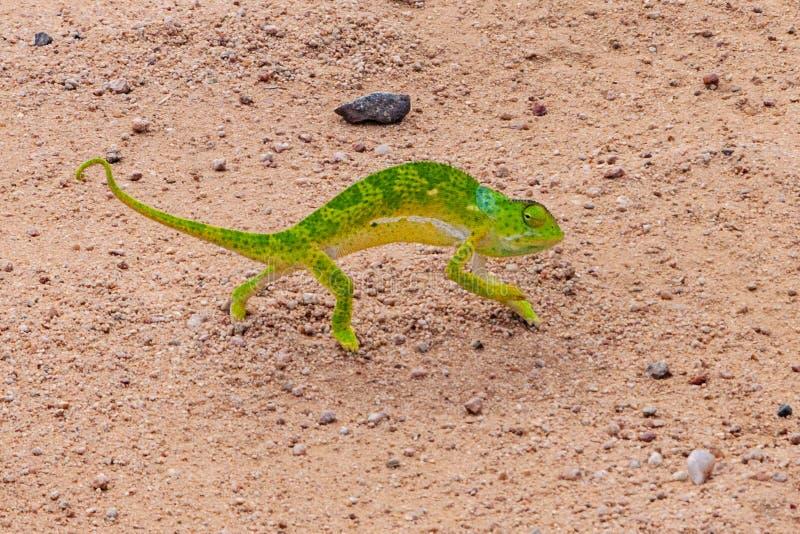 Camaleonte verde sulla strada immagini stock