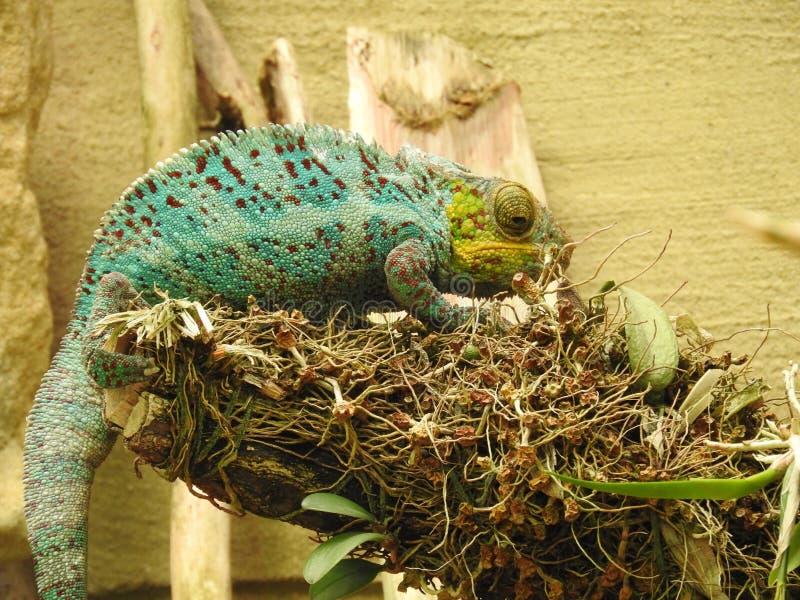 Camaleonte verde in un albero fotografia stock libera da diritti