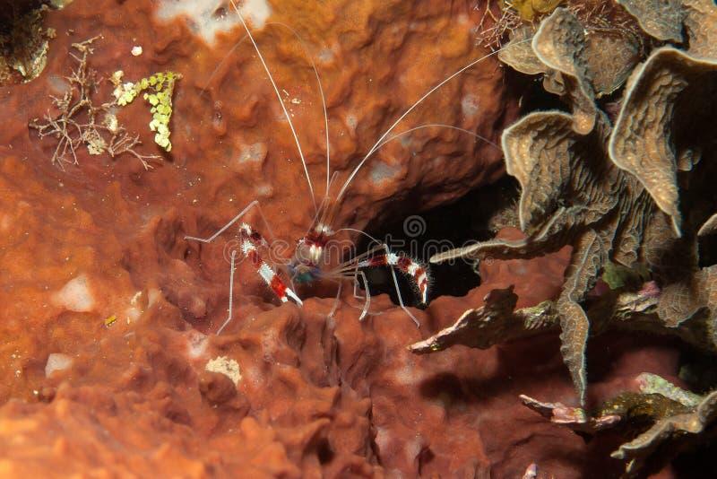 Camarão coral unido foto de stock royalty free