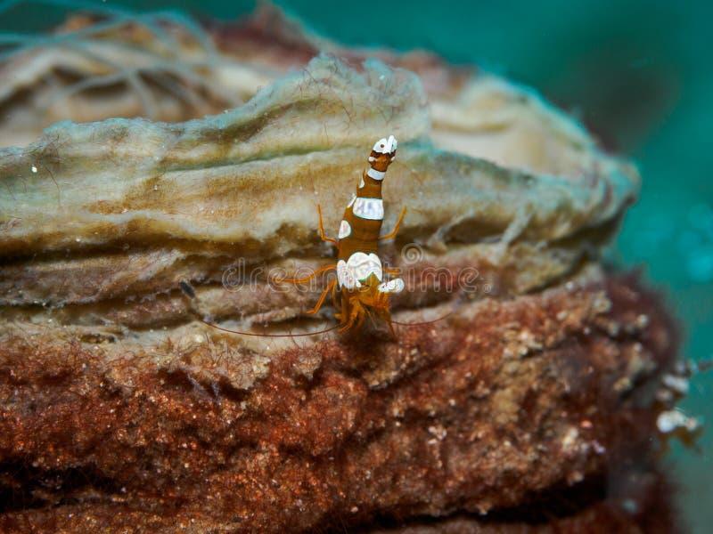 Camarão da ocupa no underwater foto de stock