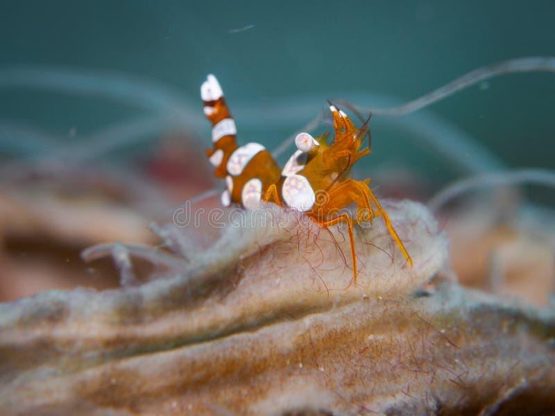 Camarão da ocupa no underwater imagem de stock