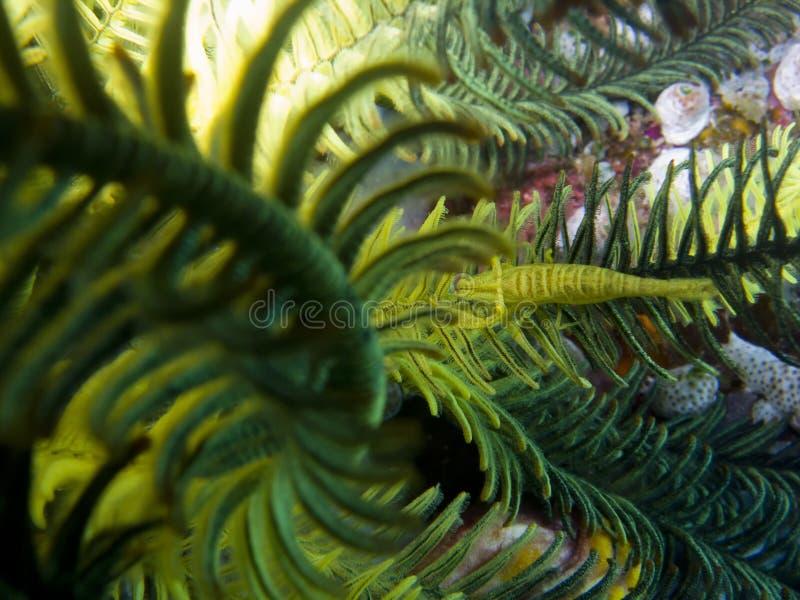 Camarão de Crinoid foto de stock royalty free
