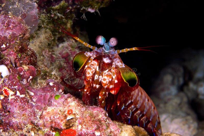 Camarão de Mentis foto de stock