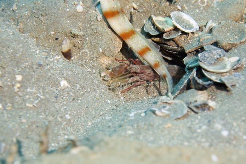 camarón Rojo-rayado del gobio fotografía de archivo
