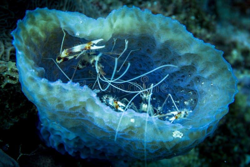 Camarões corais unidos em uma esponja azul do vaso fotos de stock