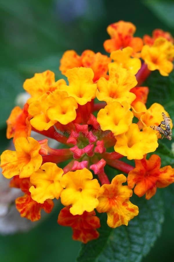 Camaraâ rode wijze, gele salie van Lantana stock foto
