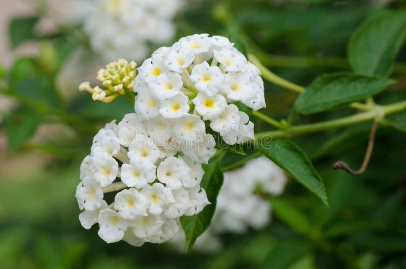 camara цветет lantana стоковые изображения