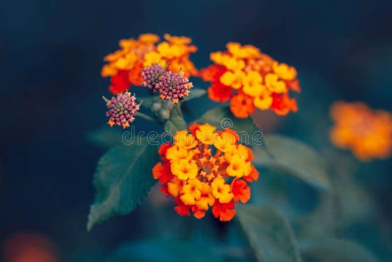 Camara amarillo-naranja rojo mágico soñador de hadas hermoso del lantana de la flor en fondo borroso azulverde fotos de archivo